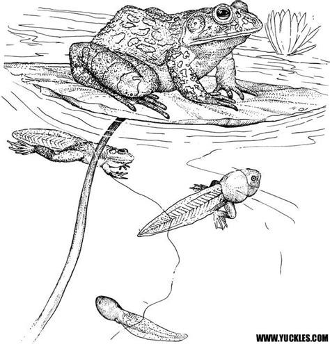 Frog Tadpole Coloring Page Pond Life Pinterest Frog Cycle Coloring Page