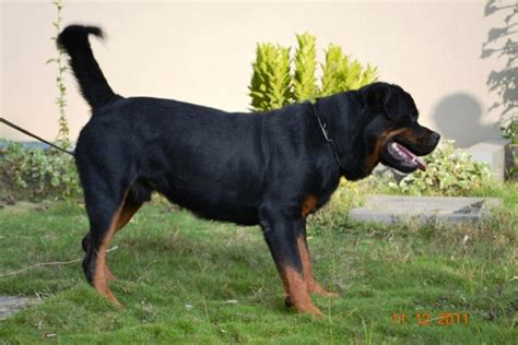 rottweiler in bangalore rottweiler puppies for sale saji 1 11213 dogs for sale price of puppies dogspot in