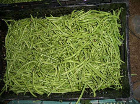 Recolte Haricot Vert by Haricot