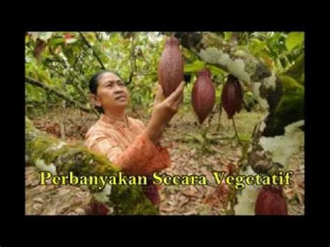Bibit Bebek Raja budidaya tanaman kopi 0818279339 doovi