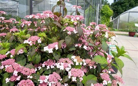 pflanzen hortensien japanische hortensie pflanze hydrangea serrata