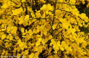 shrubs with yellow flowers photo of bright yellow flowers blooming on shrubs