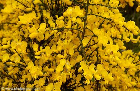 photo of bright yellow flowers blooming on shrubs scattered throughout fiordland can you tell