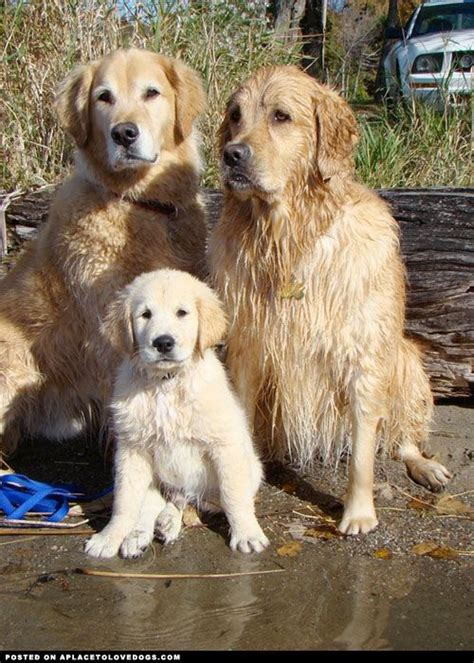 are golden retrievers family dogs 64 best golden retriever images on animals golden retrievers and golden