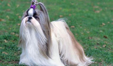 tipos de shih tzu fotos perros de raza shih tzu animalesmascotas