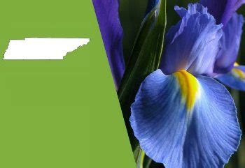 tennessee state flower  iris proflowers blog