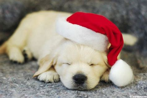 puppy with santa hat puppy in santa hat puppies