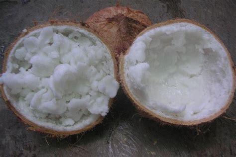 Mencari Bibit Kelapa Kopyor buah kelapa kopyor jualbenihmurah