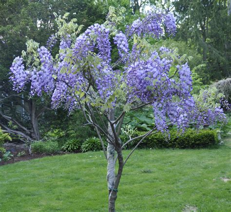growing with plants how to grow and train a wisteria tree
