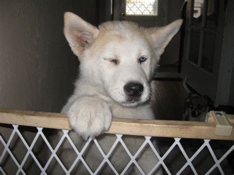 akita husky mix puppy the gallery for gt huskita dogs