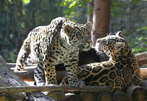 White Jaguar Cat Big Cats And Things