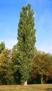 trees planet populus nigra lombardy poplar