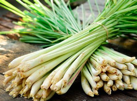 Bibit Serai tips berkebun cara menanam serai dari potongan umbi