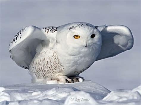 ecobirder snowy owl
