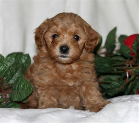 maltipoo puppies craigslist and cuddly maltipoo puppies craigspets