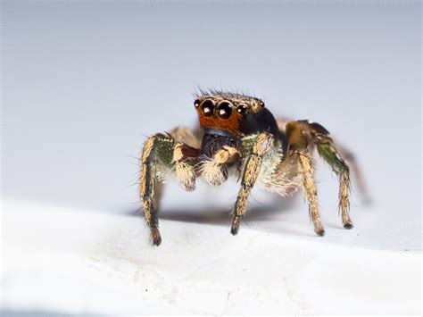 Are Spiders Attracted To Light by Jumping Spiders Can See More Colors Than You Can
