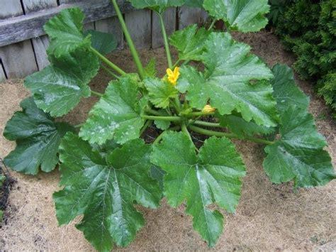 piante di zucchine in vaso zucchine sul balcone orto in balcone coltivare