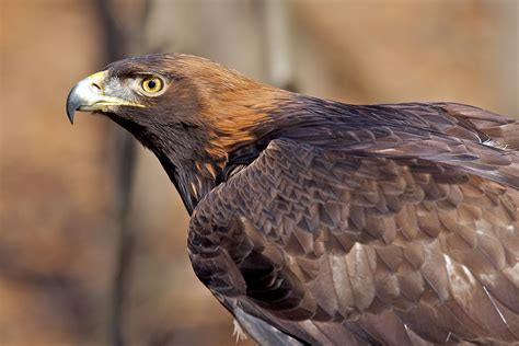 golden eagle light covers 1000 images about birds of wisconsin on pinterest