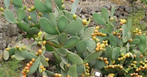 plantas medicinales plantas medicinales tuna descripcion y usos medicinales
