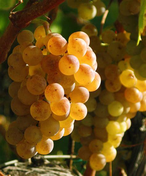 uvas blancas imagenes vinos de alella celler joaquim batlle 187 pansa blanca