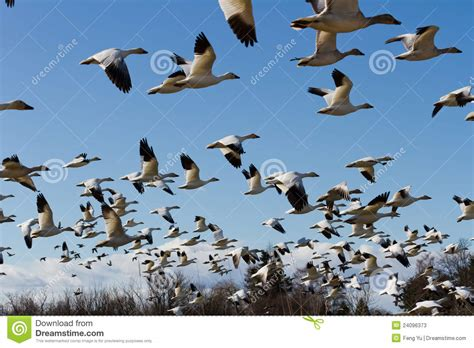 on the wing travels with the songbird migration of books snow goose stock photos image 24096373