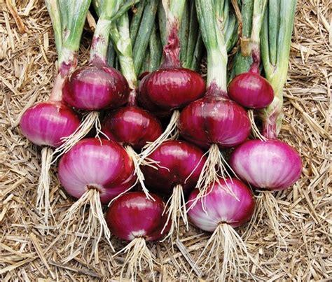 Jual Bibit Sayur Asparagus riau kembangkan budidaya benih bawang merah bersertifikat