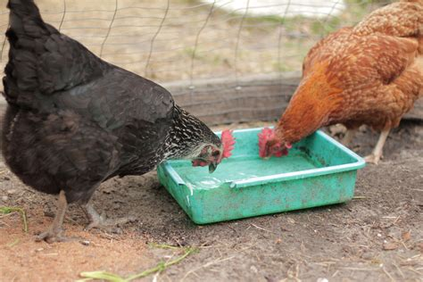 Backyard Chickens Watery Eggs Then There Were Four Chickens Eggs And The Start Of A