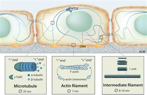 3 proteins in cytoskeleton what is the cytoskeleton mbinfo