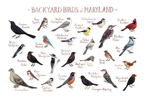 maryland backyard birds field guide art print watercolor