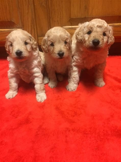 Havapoo Puppies F1b Miniature Goldendoodle Puppies For