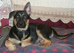 when do german shepherd puppies ears stand up how to get a german shepherd puppies ears to stand up