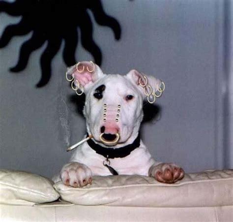 dog piercing
