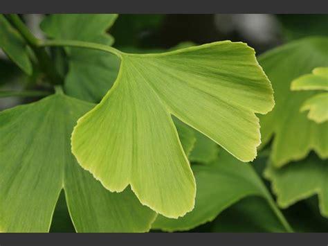 ginkgo biloba maidenhair tree ginkgoaceae images