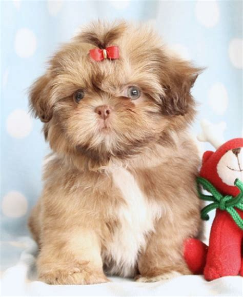teacup shih tzu puppies for sale near me teacup shih tzu puppies for sale in florida zoe fans baby animals