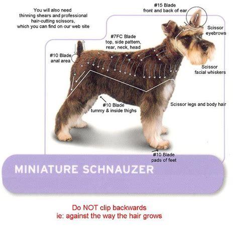 asian style schaunzer hair trim miniature schnauzer smart and obedient mini schnauzer