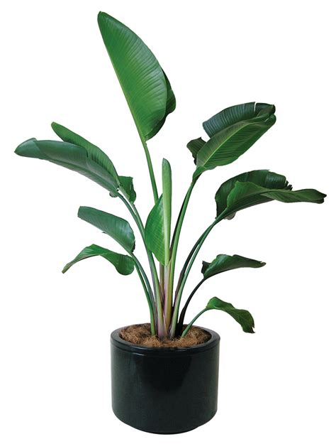 in door plant video pics for gt bird of paradise plant indoor