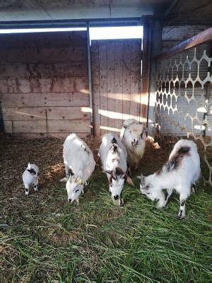 animali da cortile gratis caprini animali da cortile e stalla annunci animali