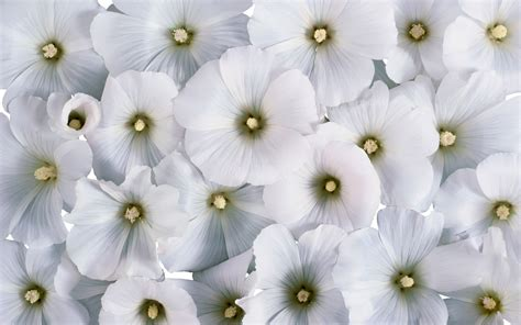 White Flower Pictures