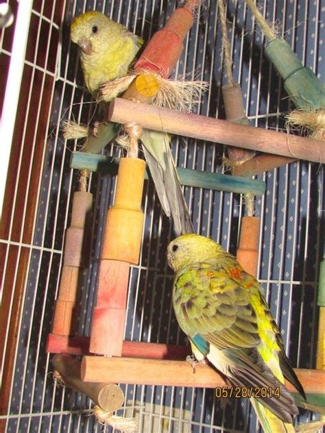 birds for sale san diego male red rump parakeet home 3mydogs weebly