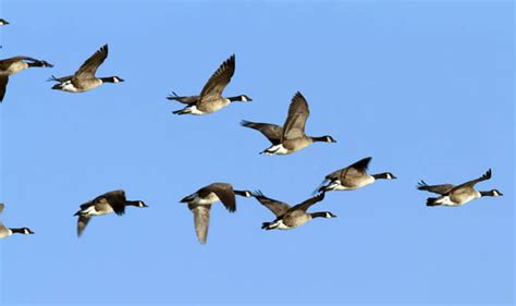 images of geese top ten facts about geese top 10 facts style