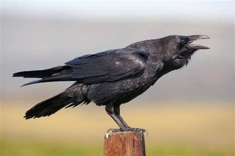 10 interesting raven facts my interesting facts