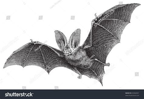 brown longeared bat plecotus auritus vintage stock vector