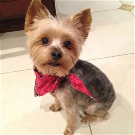yorkie teddy bear face haircut the gallery for gt yorkshire terrier teddy bear haircuts