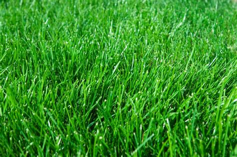 Blue Turf seeding lawns on vancouver island lush eco lawns