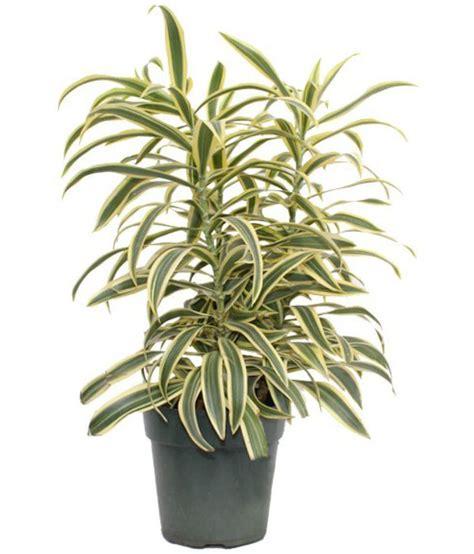 Tanaman Yellow Dracaena live nursery song of india plant dracaena reflexa indoor
