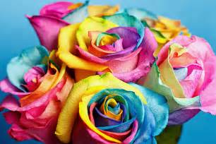 rainbow colored roses colored roses flickr photo