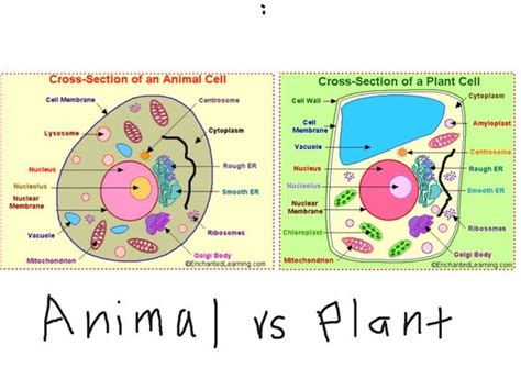 plant cell diagram 6th grade plant and animal cells not labeled search 6th