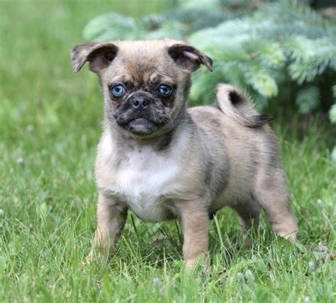 pug chihuahua the world s catalog of ideas