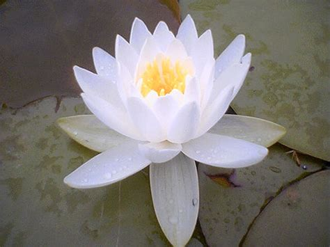 White Lotus Meaning Lotus Flower Meaning Pictures Blue White Lotus Flowers