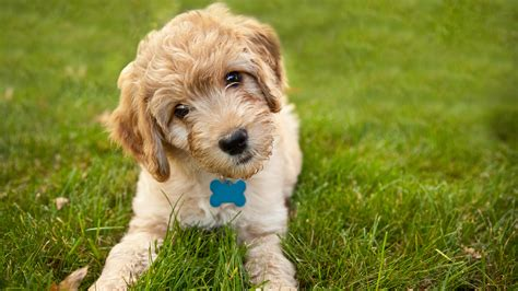 doodle pet will a goldendoodle become the next white house pet